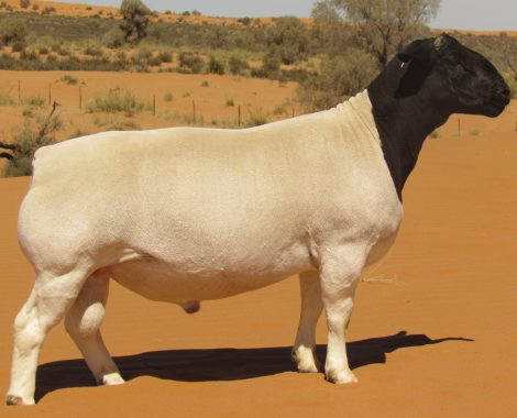 Dorper sheep stud